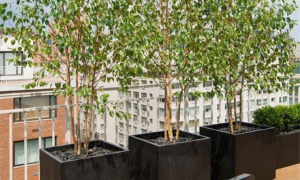 Fruit trees in planter