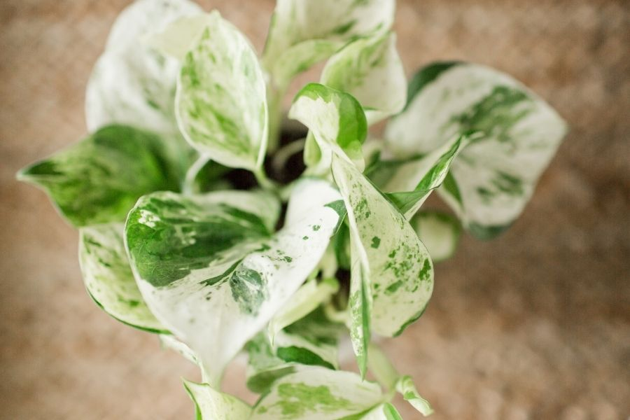 true low light houseplants