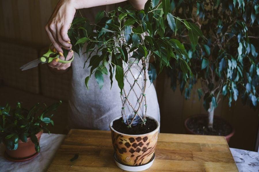trimming houseplant