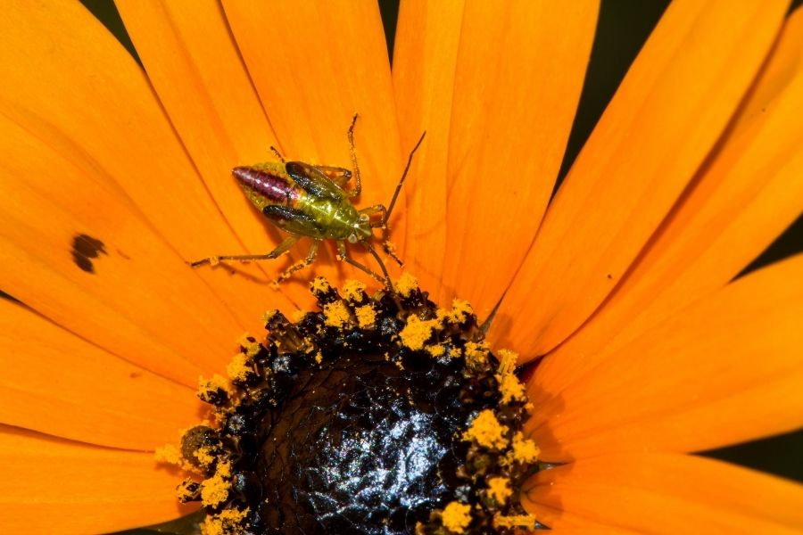 thrips on plants