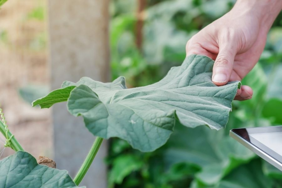 check thrips on plants by hand