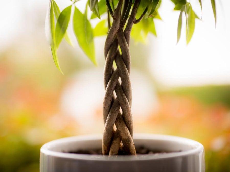 Close up of braided money tree