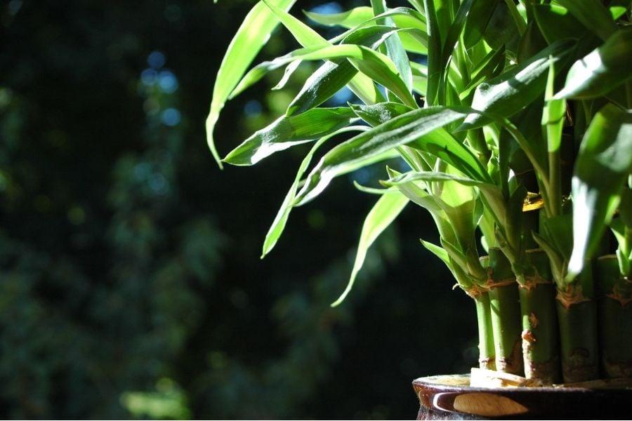 Lucky bamboo in the sun