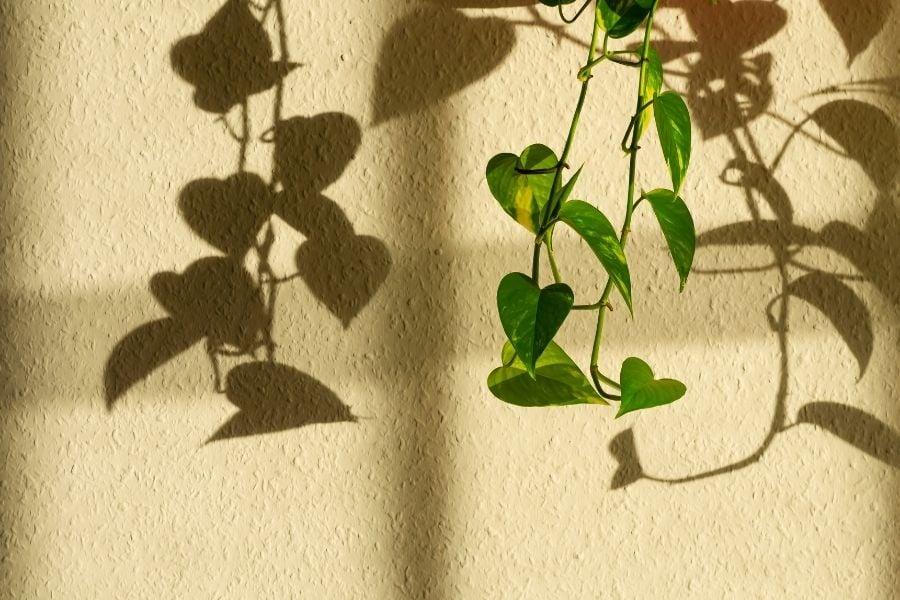 Golden Pothos in sunlight