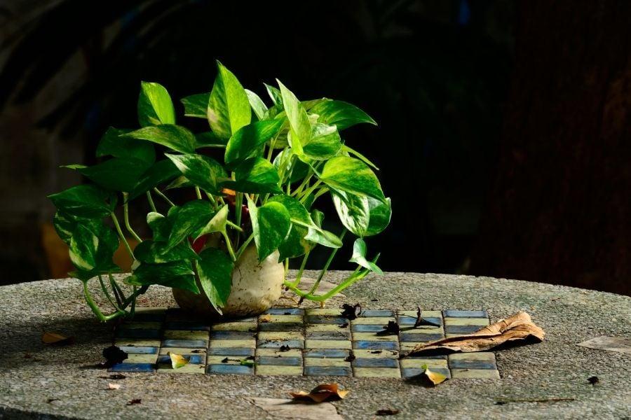 Golden pothos decoration