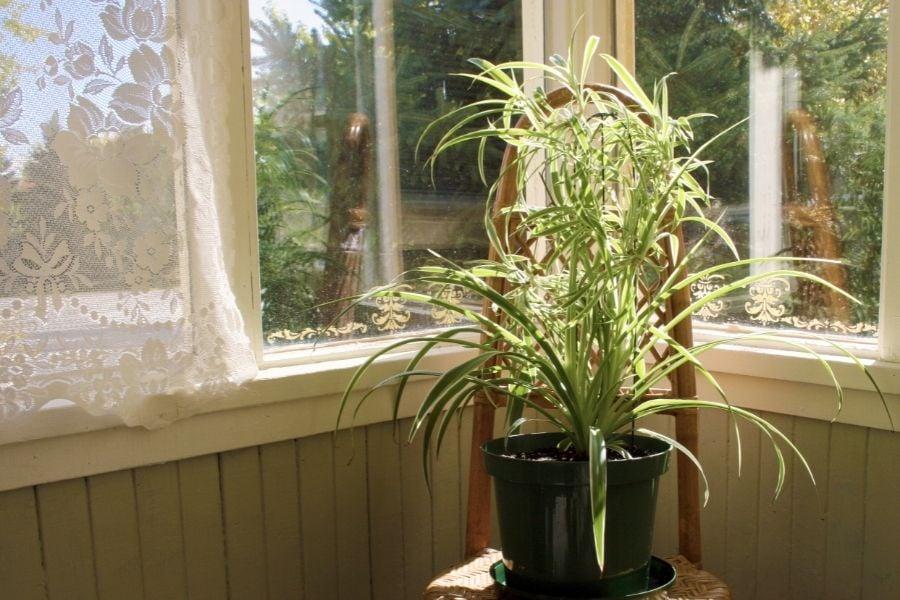 spider plant near window