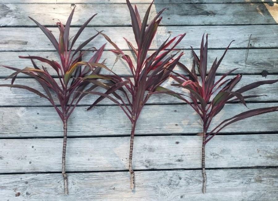 hawaiian ti cuttings propogation stems