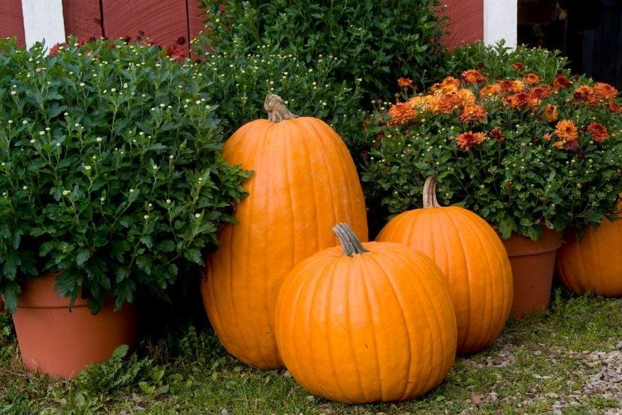 Three Pumpkins with Mums