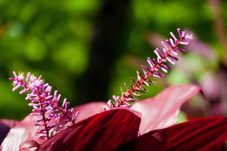 A red Hawaiian Ti Plant