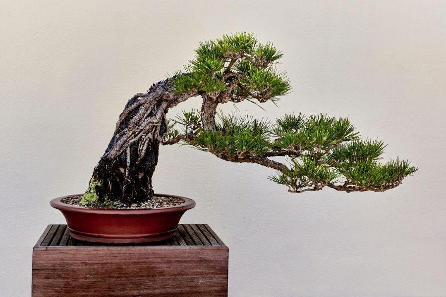 Japanese Black Pine Tree as a Bonsai