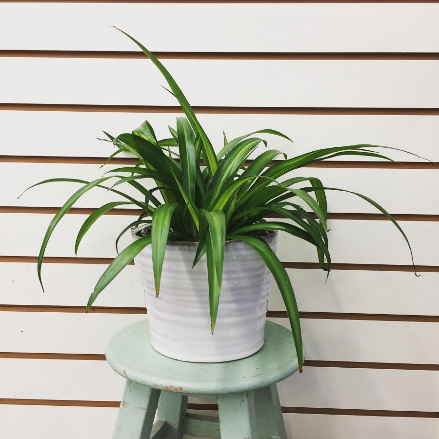 chlorophytum hawaiian spider plant