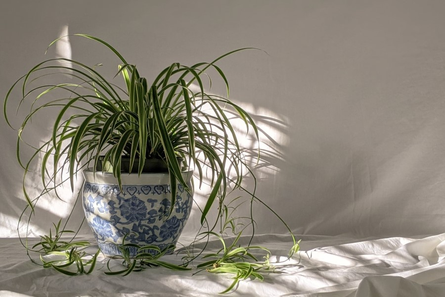 curly spider plant care