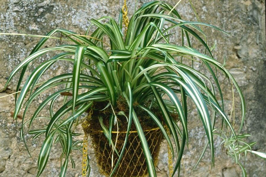 spider plant in hanging basket