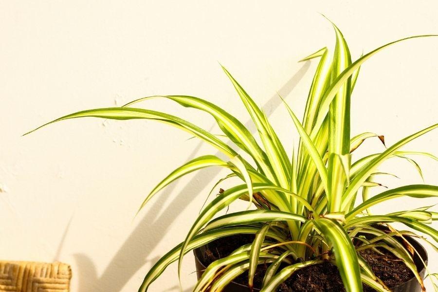 spider plant care light