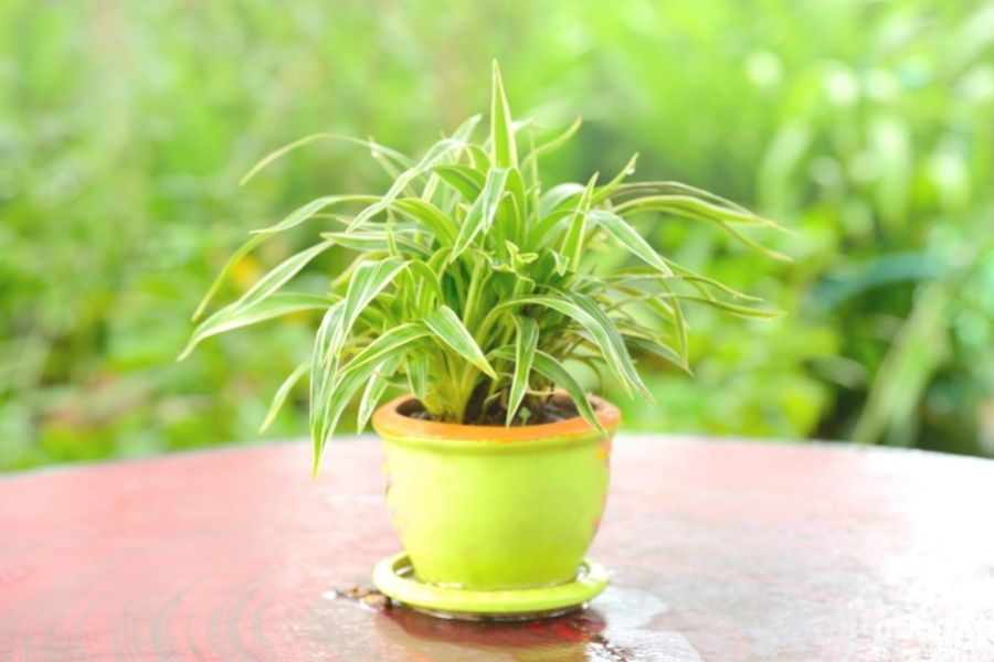 spider plant in pot on table