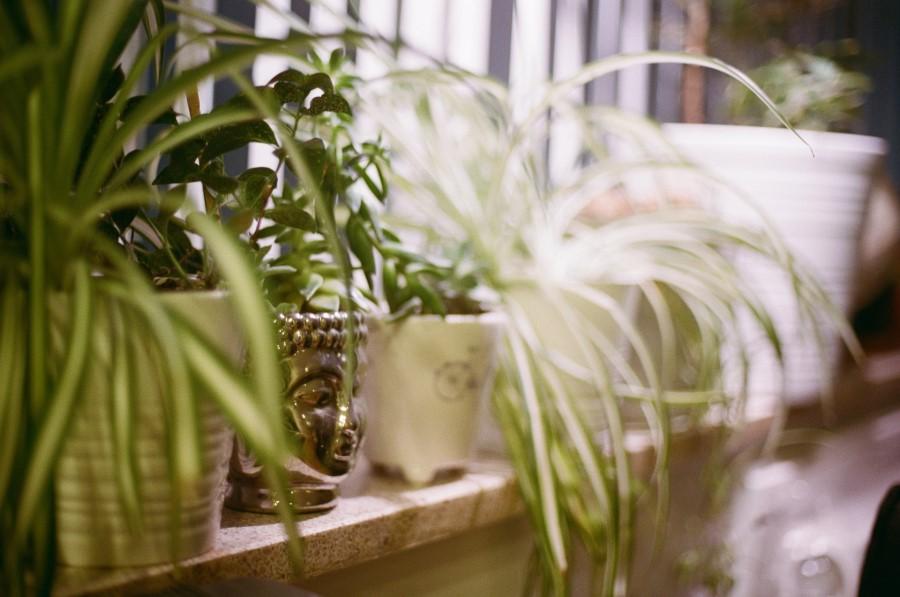 spider plant outdoor